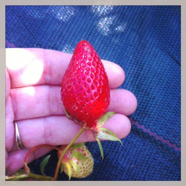 Notre première fraise... un délice