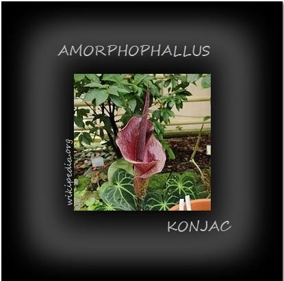 AMORPHOPHALLUS KONJAC « LANGUE DU DIABLE»