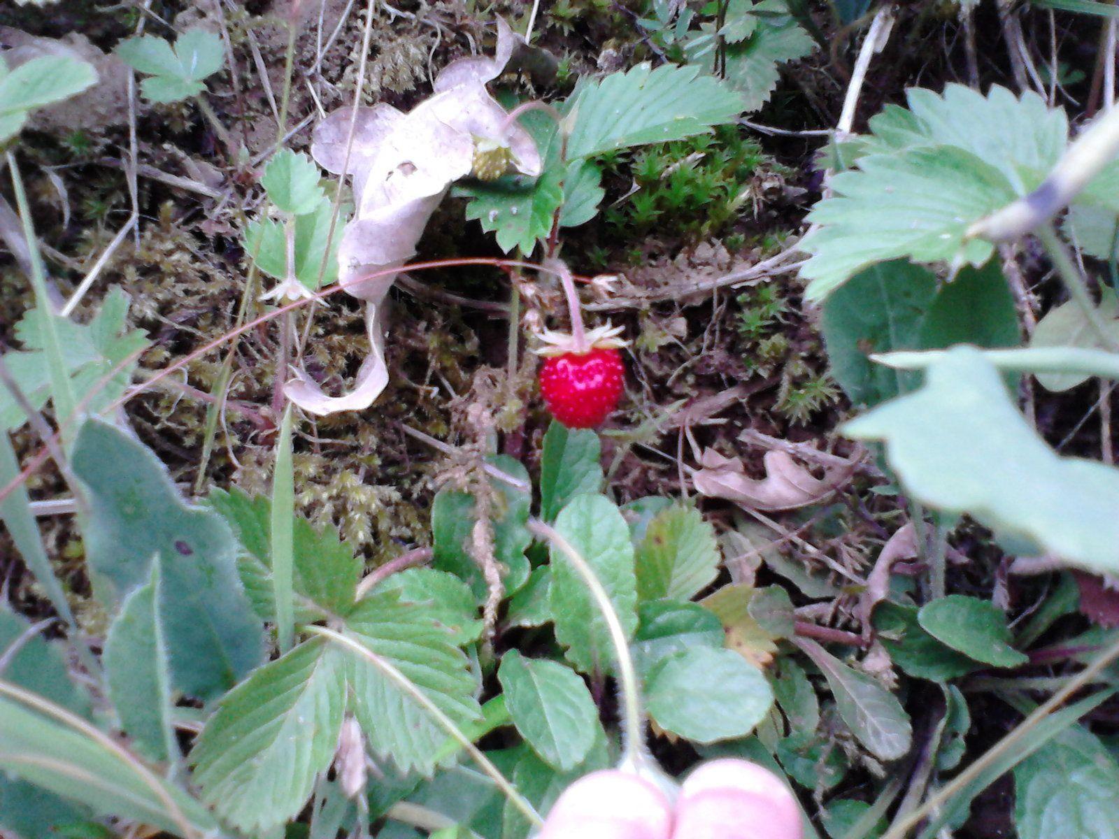 miam miam,avec ma fille on se régalent des quelques fraises qu'on trouve