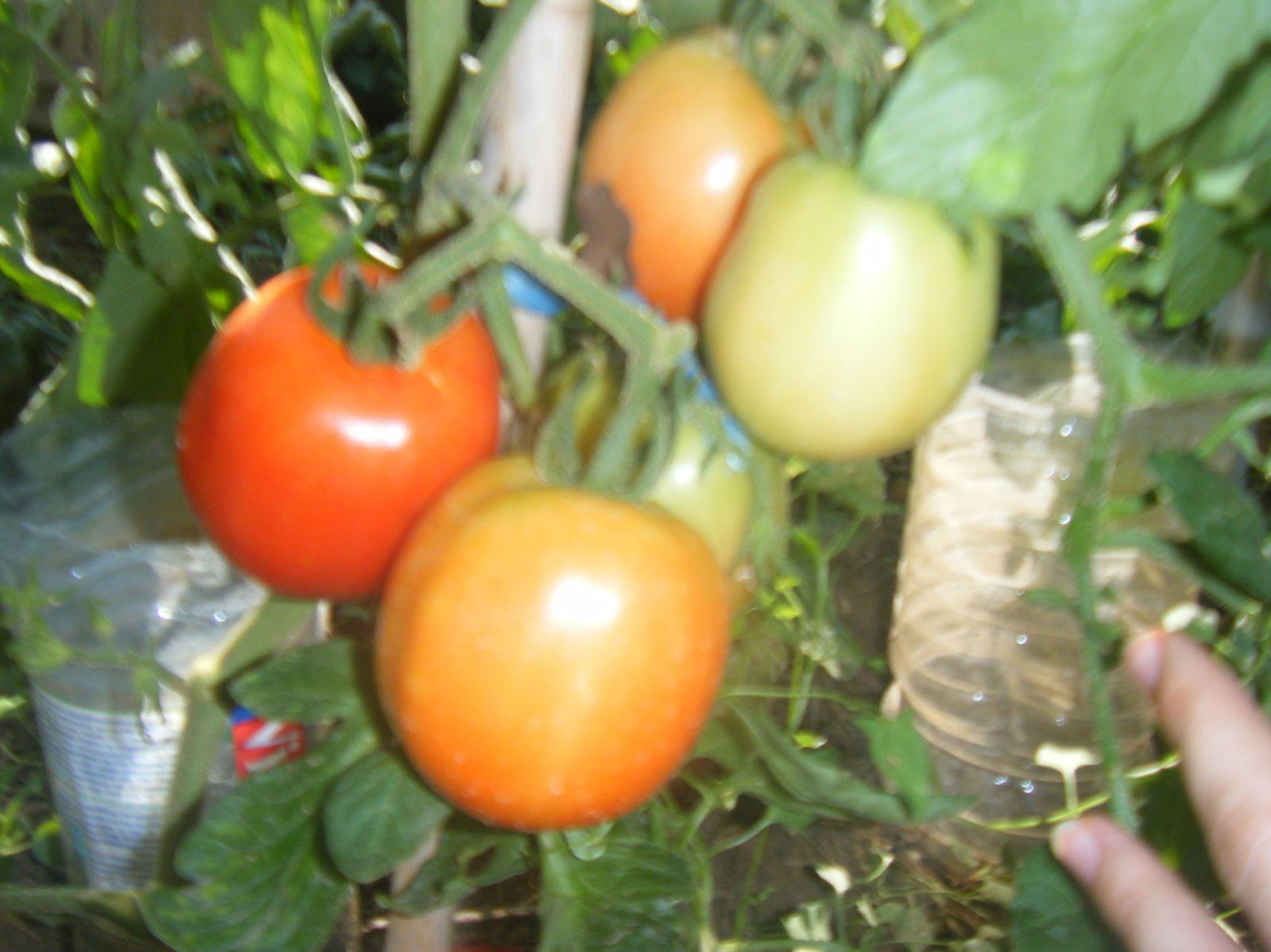 tomates pendelotte et noires de crimée, puis les fraises, le butternut ( vert ), et l'unique courgette jaune!