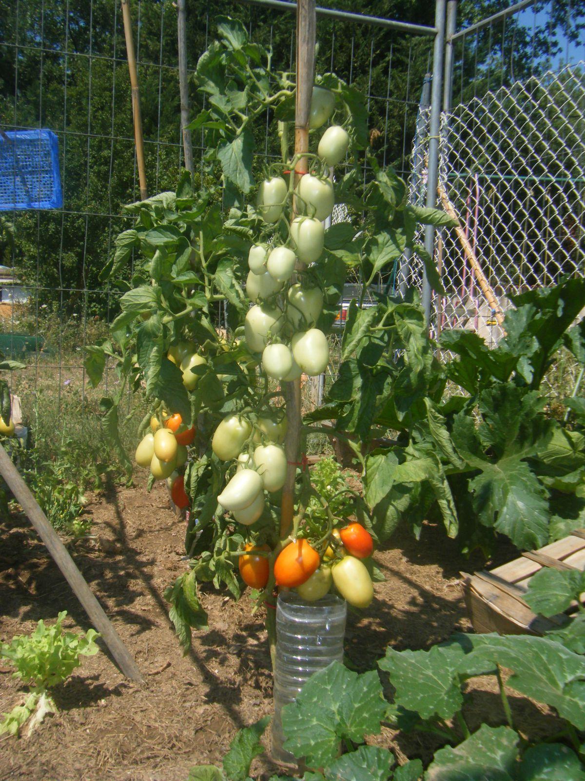 LES PHOTOS des tomates pour voir le grillage sur le côtés gauche.