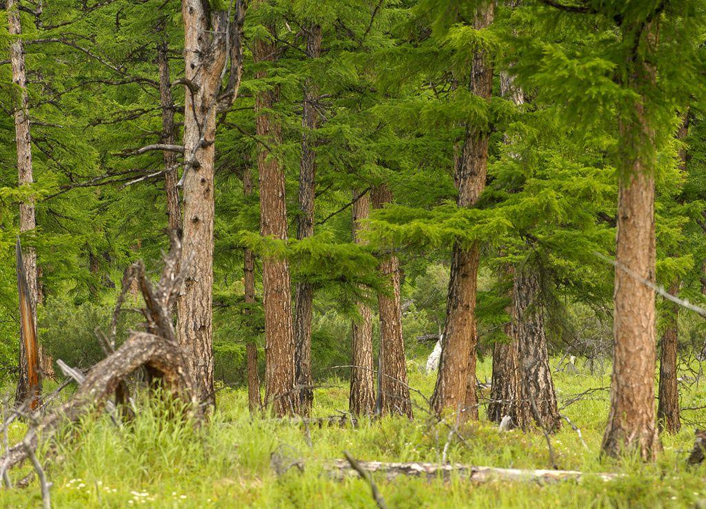 Les forêts de mélèze près du ruisseau