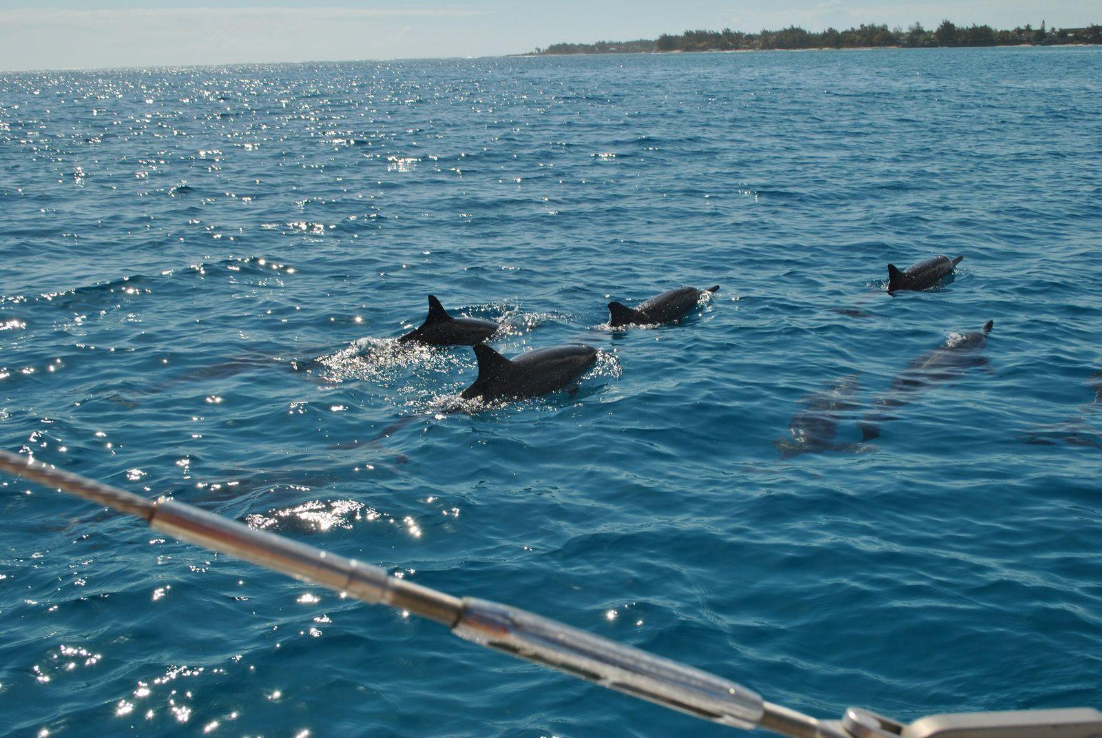 Les dauphins de la baie de tamarin