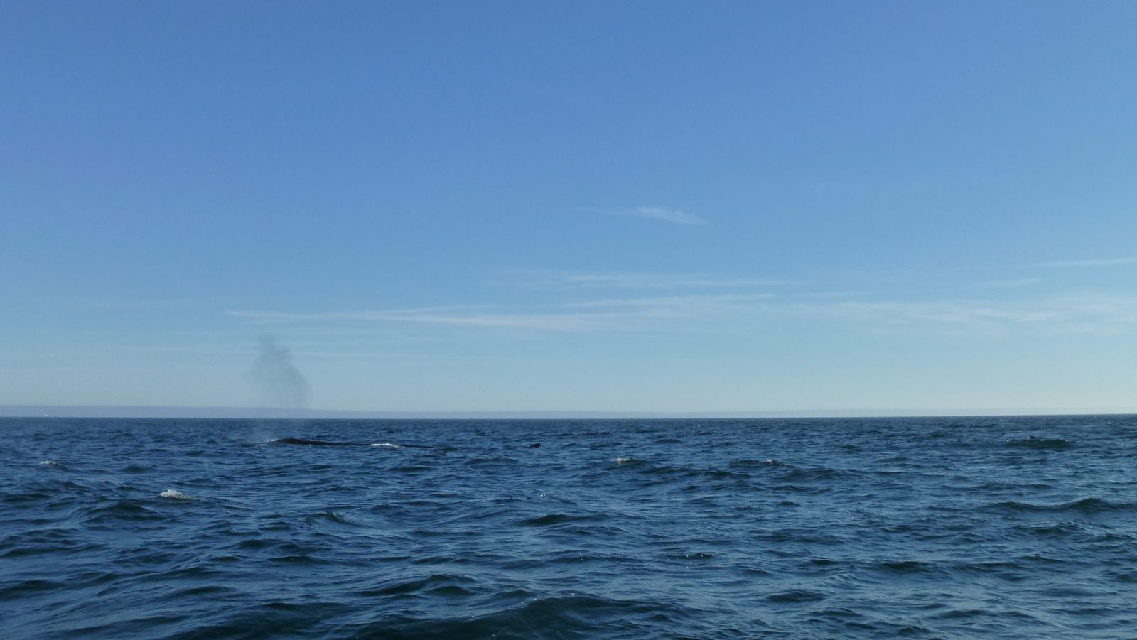 Baleines vs manchots jaunes et rouges (sans petit pois)