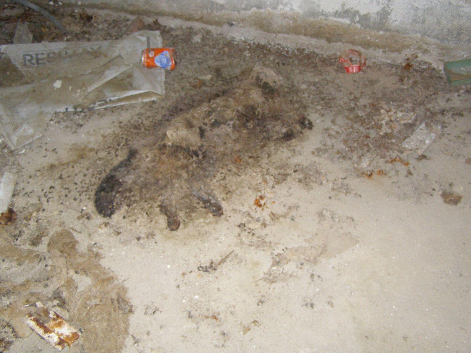"""Novembre 2013 - Je suis venue vérifier que la gamelle """"témoin"""" de croquettes que j'ai déposée dans ce sous-sol est intacte pour m'assurer qu'aucun chat n'y est plus prisonnier. Voici ma découverte dans le faisceau de ma torche... un chat mort au milieu des canettes vides."""