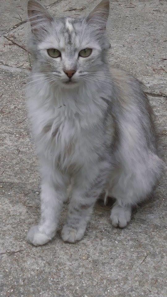 La jolie chatte beige à poils longs est la fille.... et dessous, la photo de sa maman.