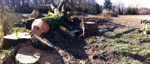 Cette fois-ci, un chêne de plus de 150 ans a été abattu ces-jours-ci. (4)