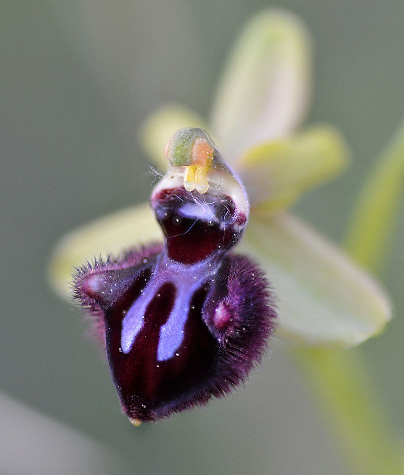 Ophrys noir (Ophrys incubacea)