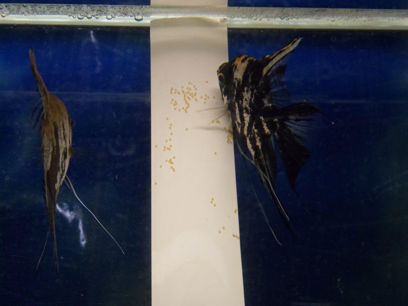 La mère va ensuite commencée à déposer les œufs sur le support de ponte. Puis le mâle va les fécondés.