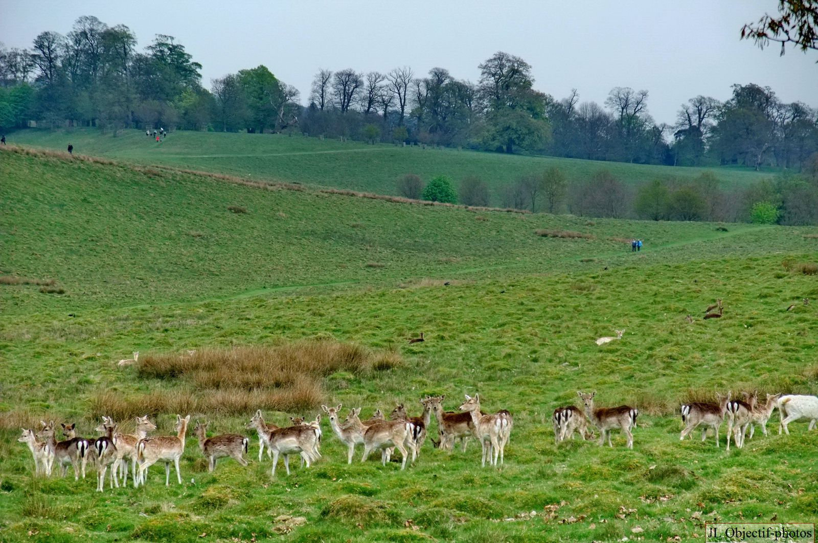 Deers in the Petworth Park, Tillington, Wetrs-Sussex, England