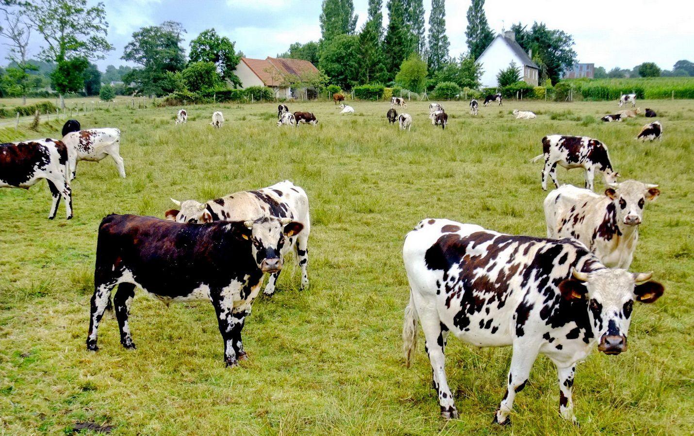 Vaches normandes, près de quettreville, Manche, Basse-Normandie