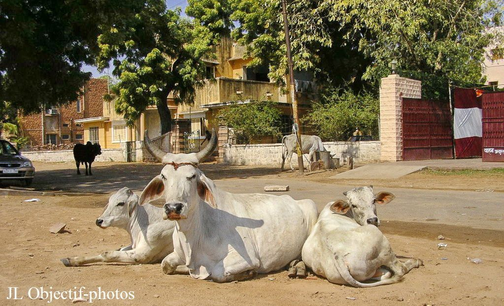 Jodhpur Rajasthan  Inde, SACREES VACHES , Jodhpur  Rajasthan India LOOKING