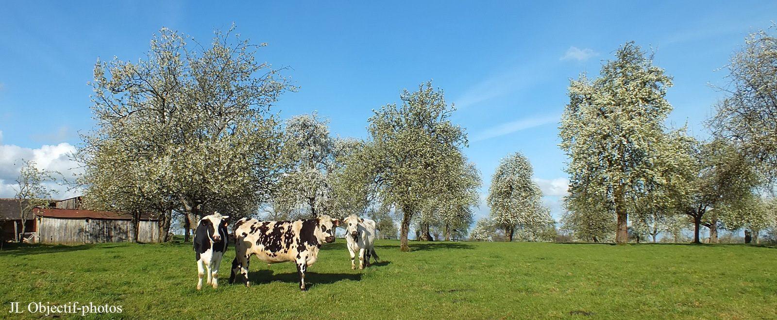 Pommiers en fleurs, vaches normandes dans verger