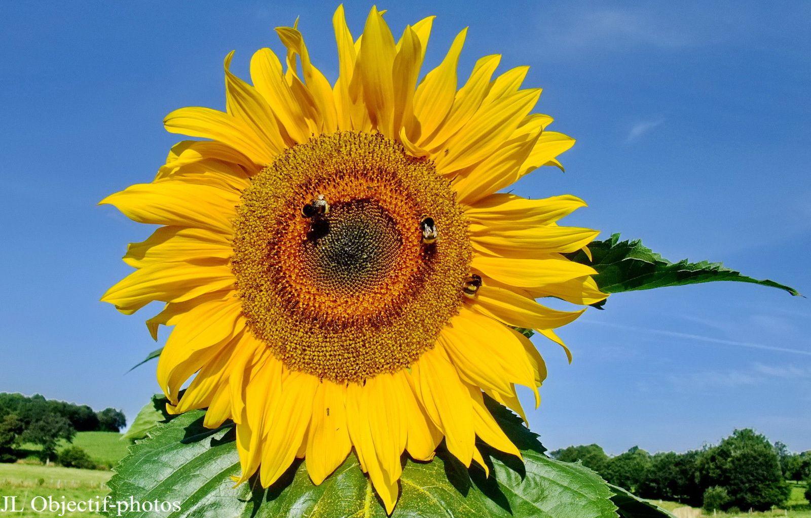 Tournesol et abeilles, Faune et flore