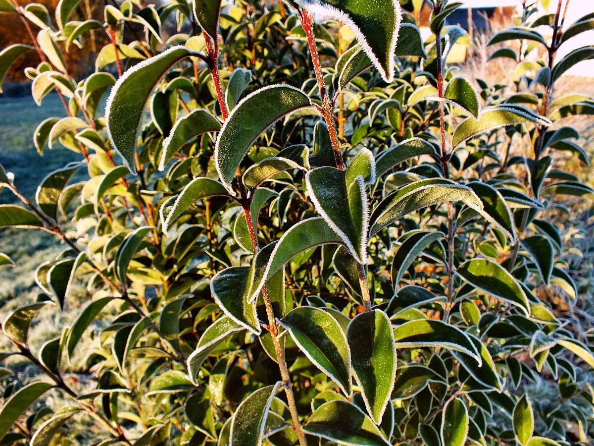 Troène matin de gelée – Privet in the morning frost