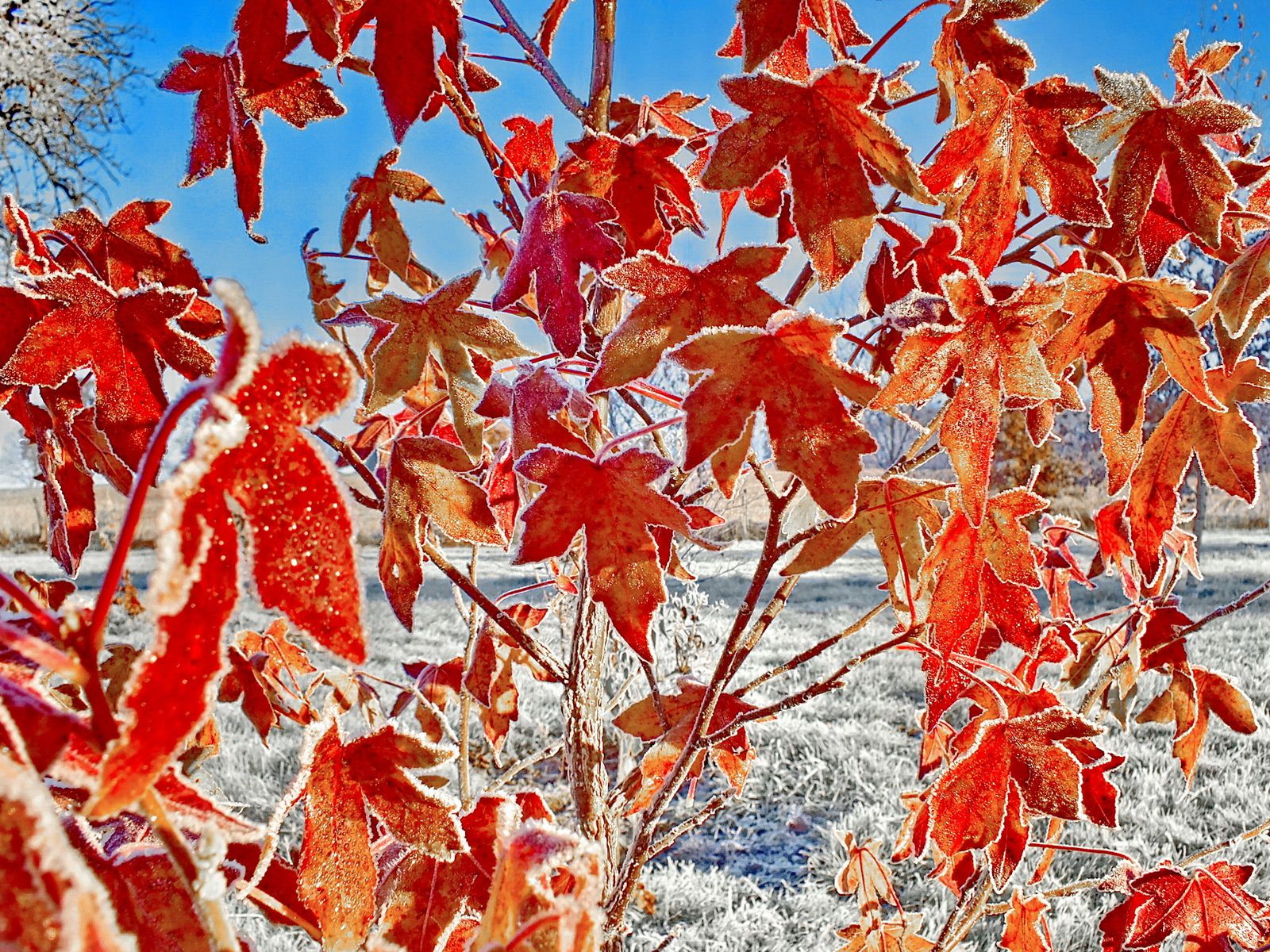 Liquidambar coup de soleil dans la gelée du matin - Liquidambar sunlight on the morning frost