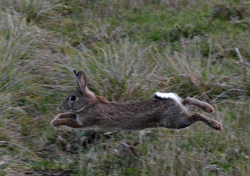 Chasse aux lapins