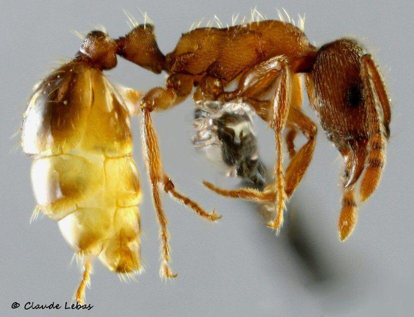 ouvrière Strongylognathus huberi de profil