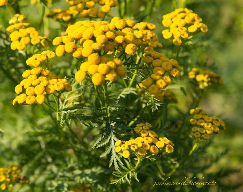 La tanaisie une plante rem de au jardin - Plante qui attire les moustiques ...