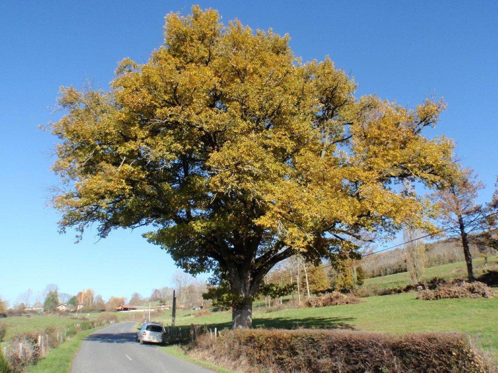 Chêne de Champoly