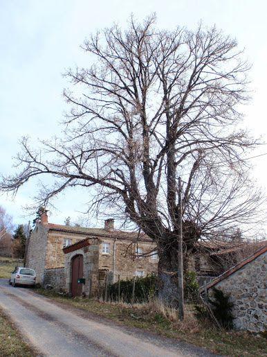 Tilleul d'Apinac