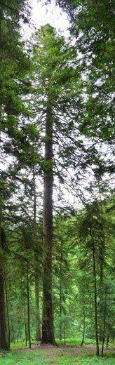 Sapîn géant de Taillard