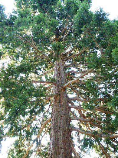 Séquoia de l'Hôpital de Pélussin