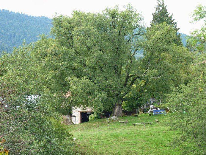 Chêne de la Gilbernie