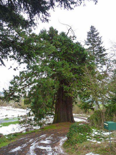 Séquoia du chateau du Poyet