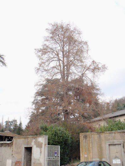 Cyprès chauve de St Galmier