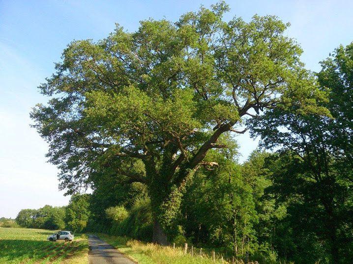 Chêne de Cléppé