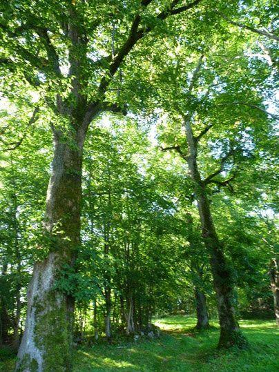 Tilleuls et grands arbres de la Goutte