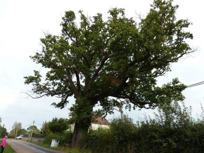 Chêne de St Maurice lès Chateauneuf