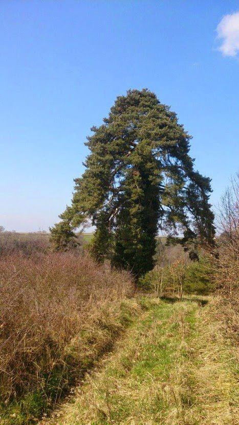 De loin, il ressemble un peu à un séquoia...
