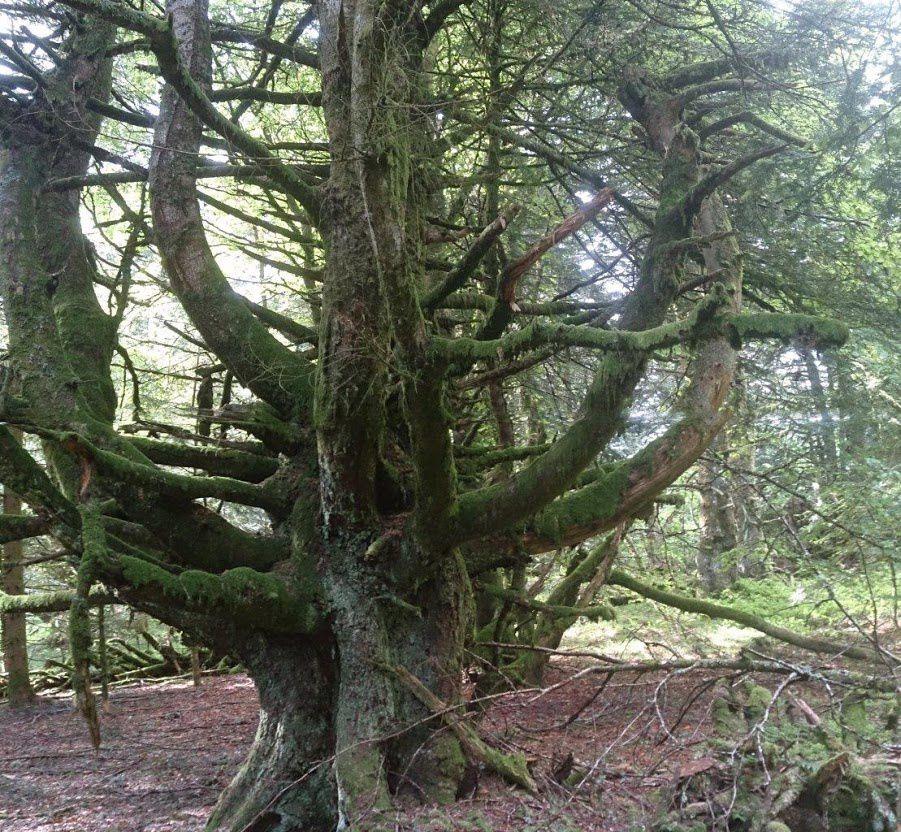 Les sapins trognes du bois de Charlannes