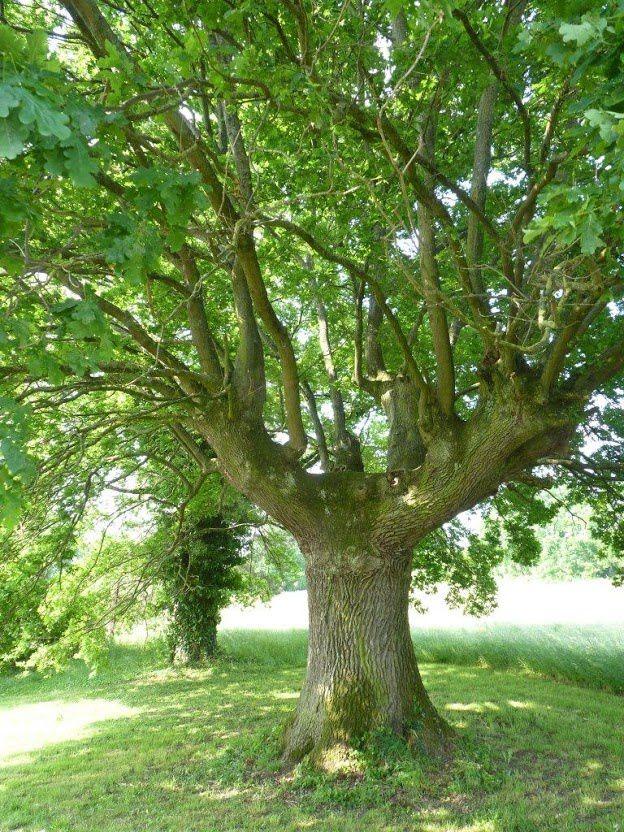 Chêne de Brindas