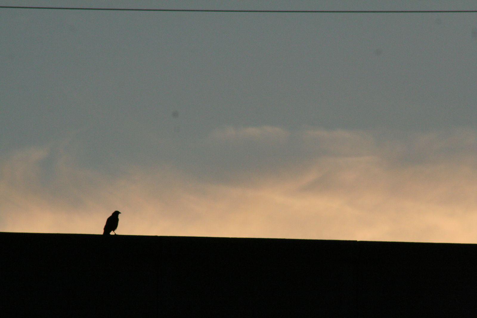 corneille noire à l'aube