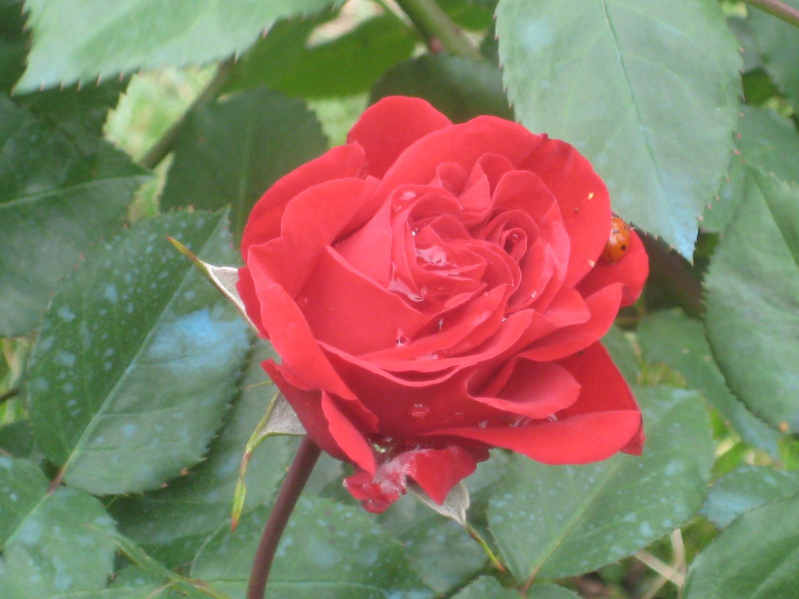 "Roses ""Lili Marleen"", duo de muflier et rosier ""Grand Huit"", lobelia Cardinal, cascade de fuchsia."