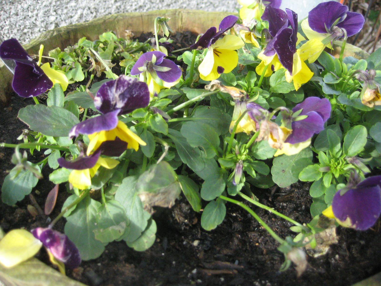 Jardinière de pensées bicolores