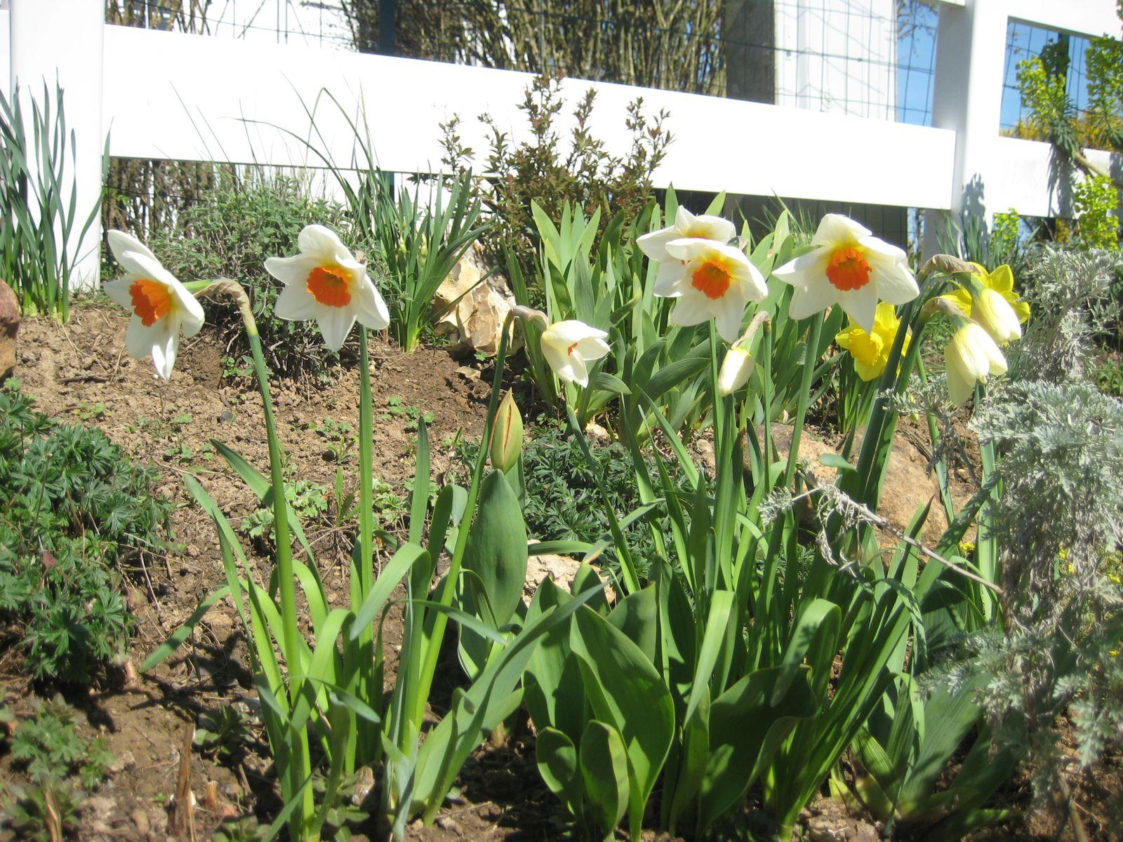 Narcisses, Jonquilles et Tulipes