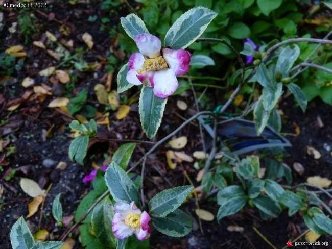 Camellia Sasanqua 'Versicolor Variegata'