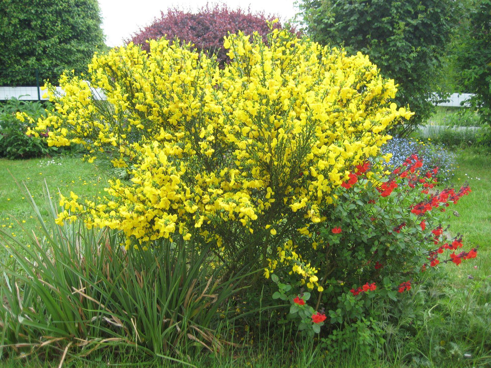 Rhododendron et Genêt