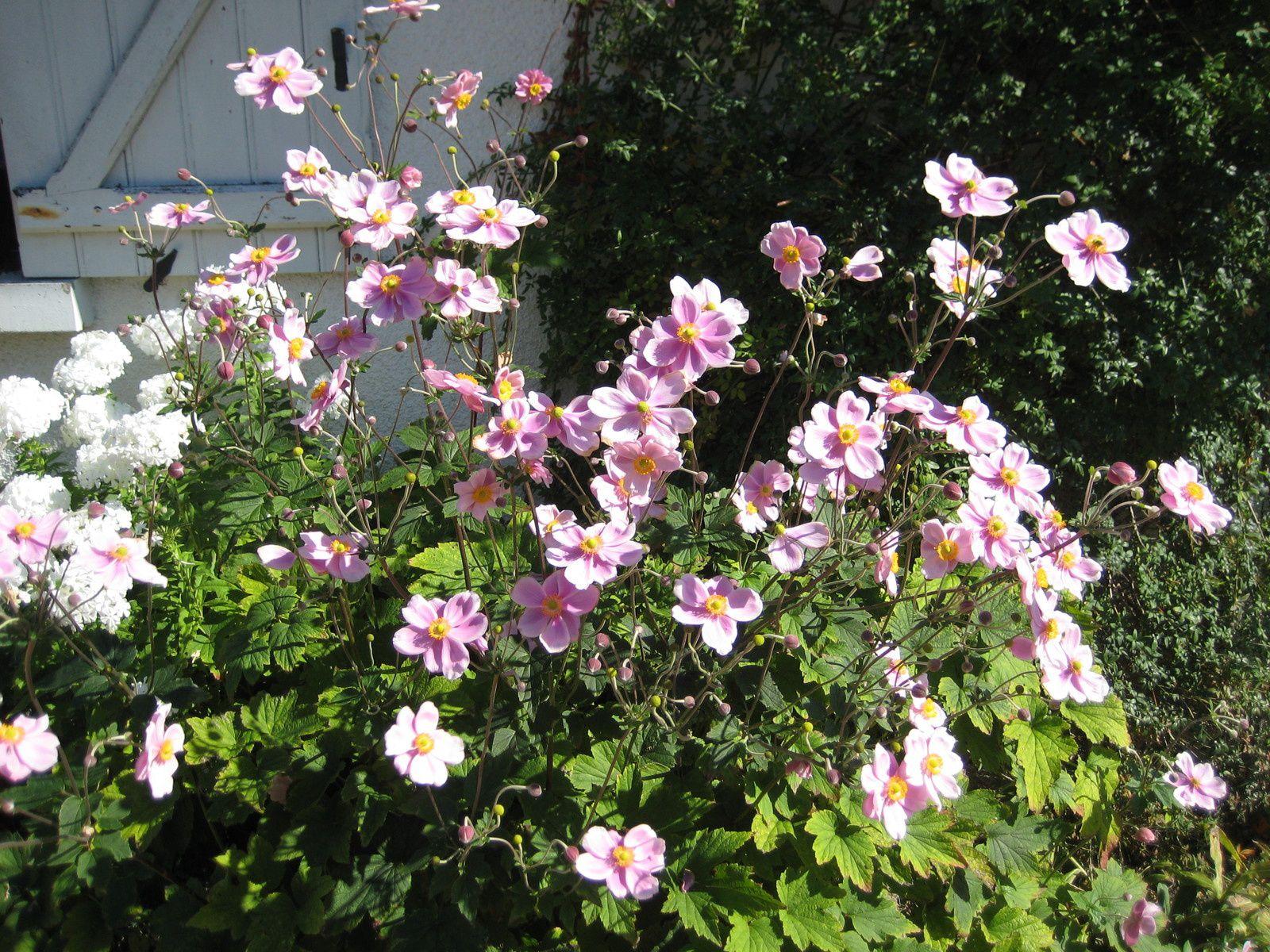 Du rose avec les Sedum Spectabile, les Anémones du Japon, la Rose du Petit prince et le Cyclamen de Naples