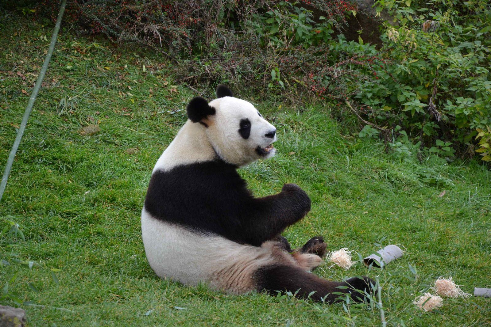 """La zone """"Asie"""" et ses célèbres pandas géants."""