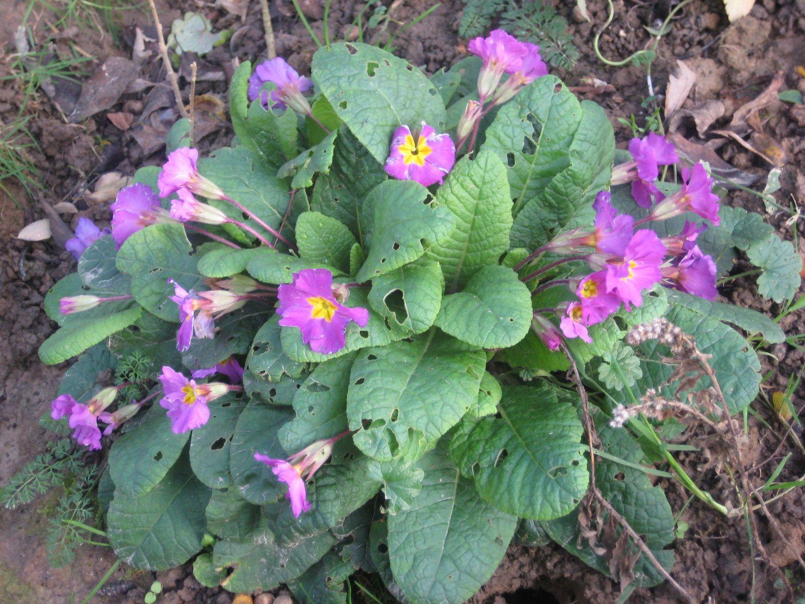 Muscari et Primevères en fleurs