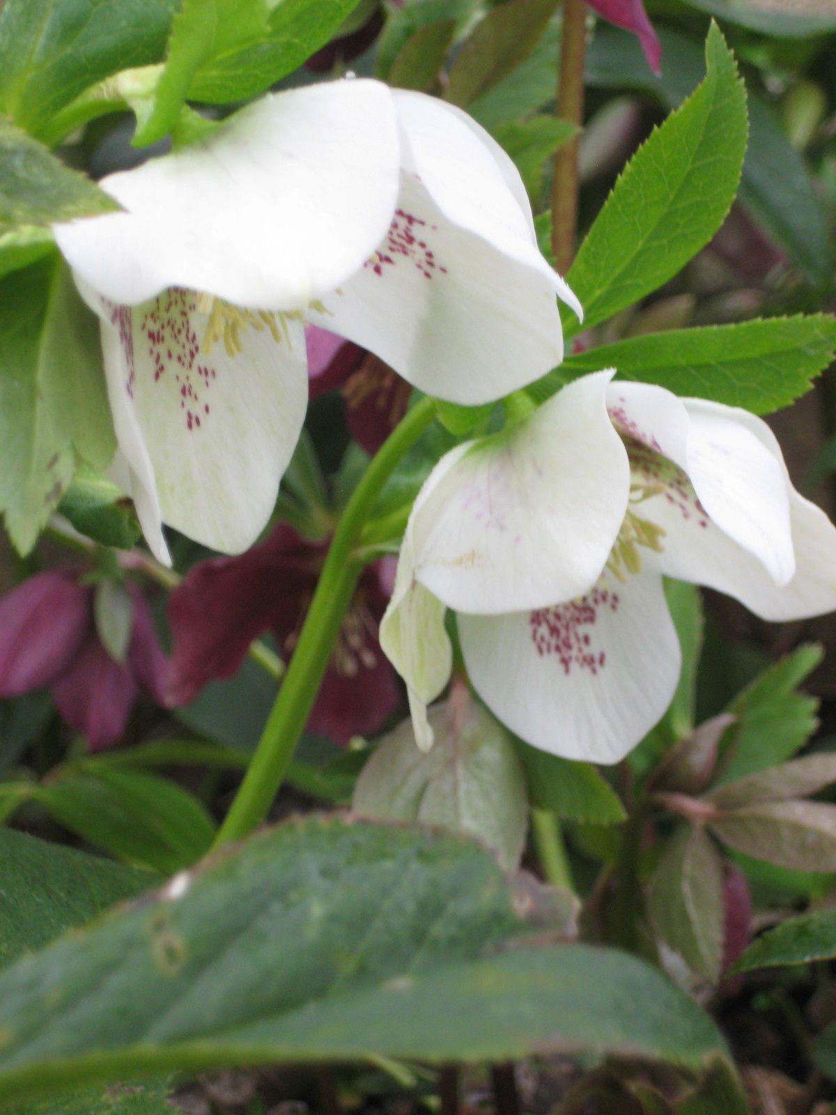 Hellébores d'Orient (Helleborus Orientalis) simples et doubles