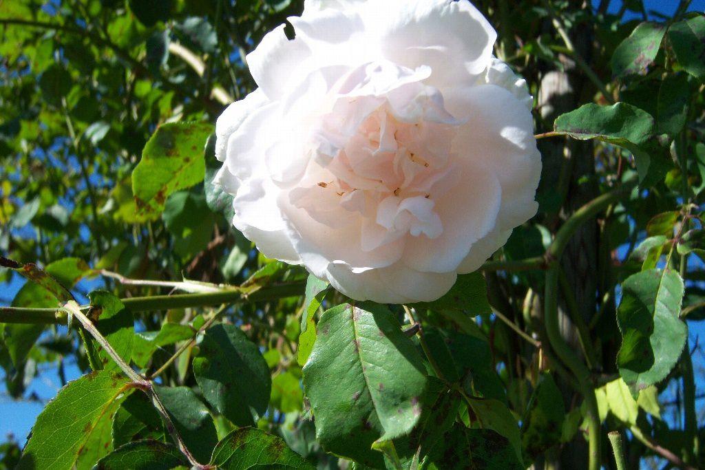 Des fleurs à la crème Chantilly...
