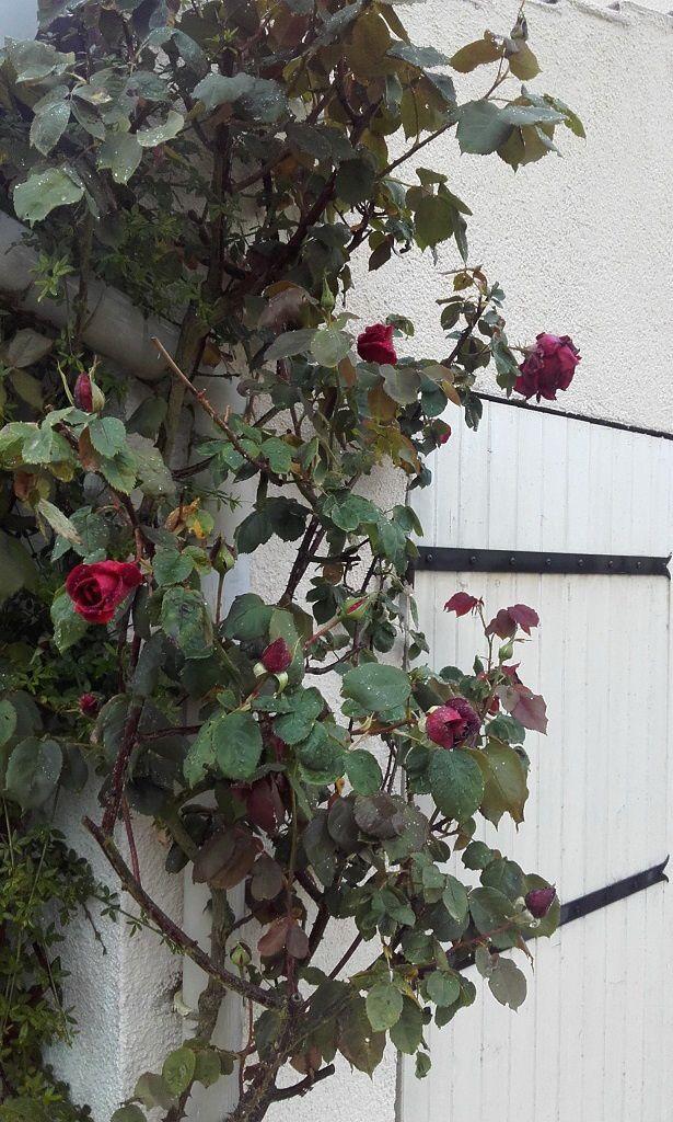 Et le célèbre 'Papa Meilland', au parfum délicieux... Certainement l'un de mes rosiers fétiches.