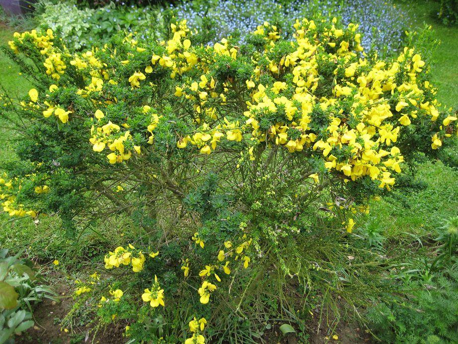 La floraison dorée des Genêts