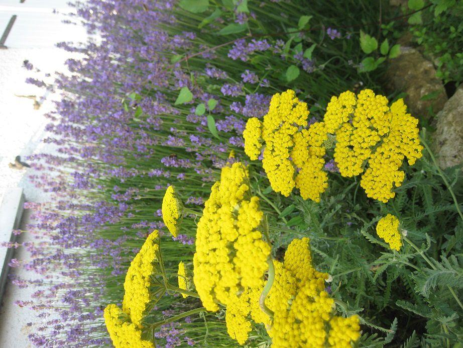 Achillée et Lavande: quand le sud s'invite au jardin...